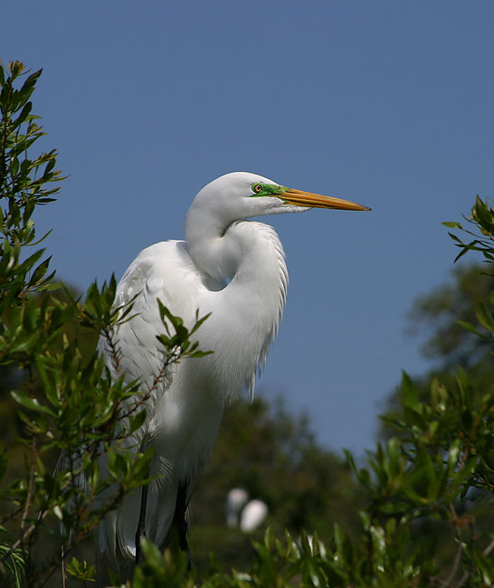 Great Egret - Photo courtesy Earl Harrison
