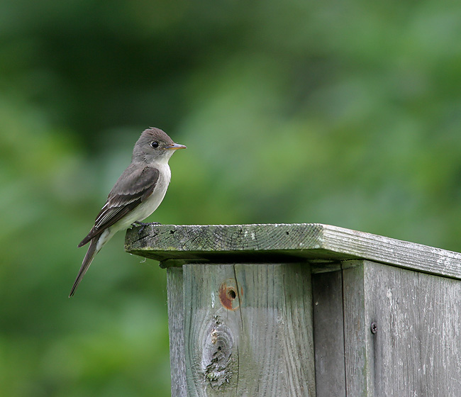 Eastern Wood Pewee (Photo by Earl Harrison)