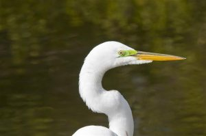 Close-up of Great Egret showing the lime green lores between the eye and the base of the bill. (Photo courtesy Tom Sheley, copyright 2012)