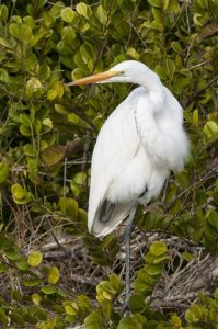 """A Great Egret poses with its neck in the common """"S"""" shape. (Photo courtesy Tom Sheley, copyright 2012)"""