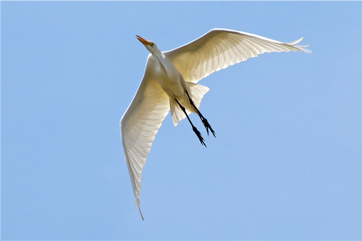 Great Egret Gliding (Photo courtesy Kim Graham, copyright 2012)