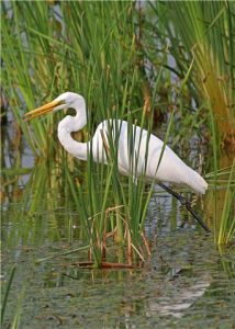This Great Egret is hunting in shallow, reed-choked water. (Photo courtesy Kim Graham, copyright 2012)
