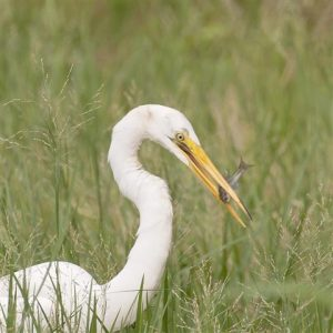 Great Egrets can handle prey of a limited size, such as this fairly small fish. (Photo courtesy Tom Sheley, copyright 2012)