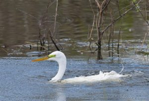 This Great Egret appears to be swimming, a very unusual behavior. (Photo courtesy Tom Sheley, copyright 2012)