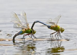 A pair of Green Darners. (Photo courtesy Kim Graham, copyright 2012)