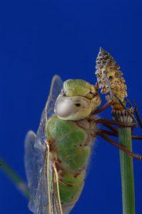 Green Darner in closeup view. (Photo courtesy Tim Daniel, copyright 2012)