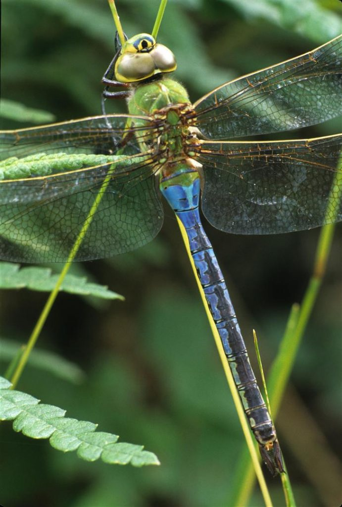 Creature Feature Green Darner Dragonflies Columbus Audubon