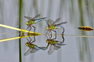 Green Darners at the water's surface. (Photo courtesy Kim Graham, copyright 2012)