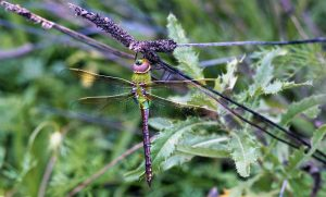 Looking down on a Green Darner. (Photo courtesy Chris Graham, copyright 2012)
