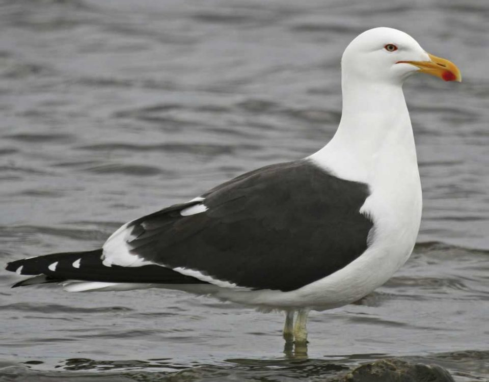 Kelp Gull (Photo George Armistead)
