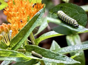 Monarch Caterpillar Feeding on Butterfly Weed