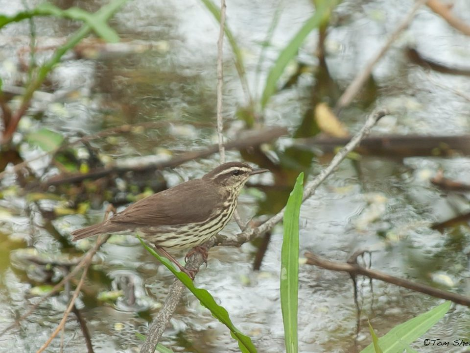 Northern Waterthrush at Magee Marsh (Photo Tom Sheley)