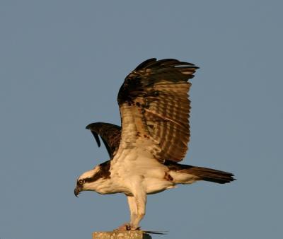 Osprey (Photo Earl Harrison)