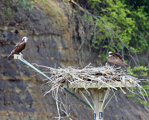 Osprey Pair On Platform