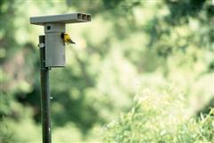"""A """"nest jar"""" being visited by a Prothonotary Warbler"""