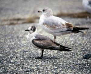 One of the Franklin's gulls, with a ring-biled gull for comparison