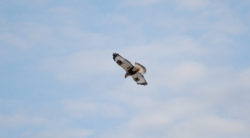 Rough-legged Hawk - Light Phase