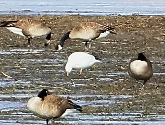 Ross's Goose among the Canada Geese