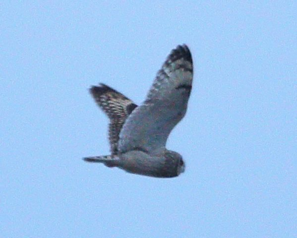 A Short-eared Owl hunting over the fields in front of us