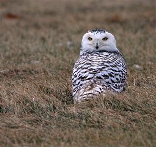Snowy Owl (Photo courtesy Earl Harrison)