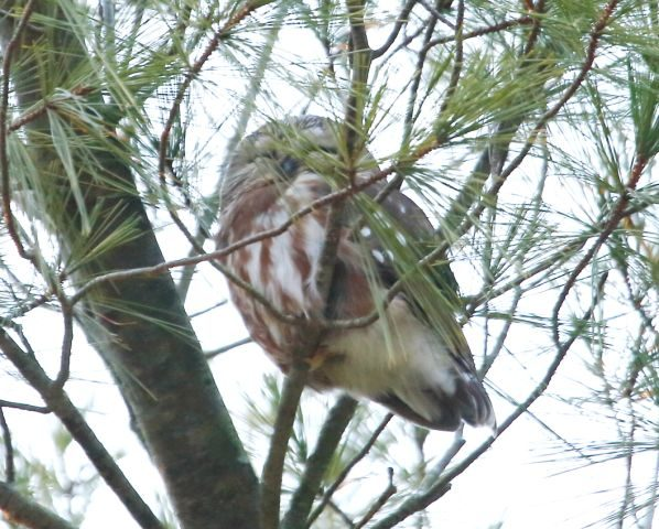 Saw-whet Owl hiding in the branches