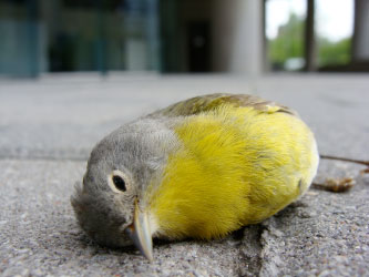This warbler did not survive a building collision. It doesn't have to be like this.