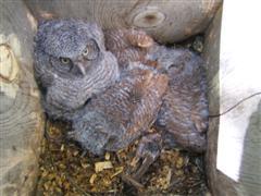 Eastern Screech Owlets in Nest Box