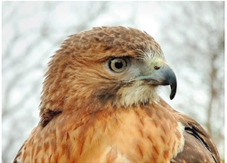 Red-tailed Hawk - Photo Kirt Beiling: