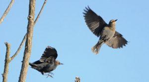Rusty Blackbirds (Photo putneypics)