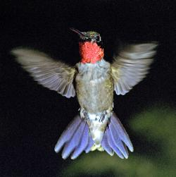 Ruby-throated Hummingbird - Photo Bill Stripling