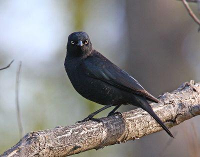 Rusty Balckbird