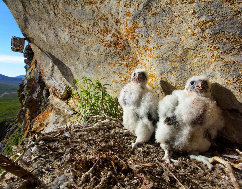 Gyrfalcon chicks in nest