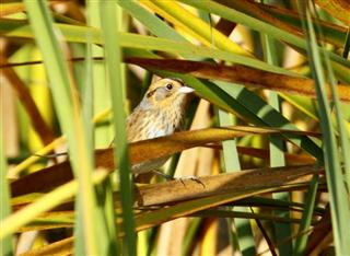 One of the Nelson's Sharp-tailed Sparrows seen on the October Avids trip