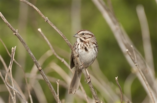 Tom Sheley: Song Sparrow