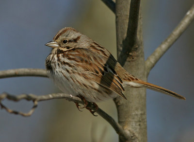A Columbus Song Sparrow (photo by Earl Harrison at Highbanks Metro Park)