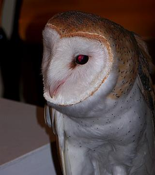 """Conference """"Special Guest"""": a Barn Owl"""