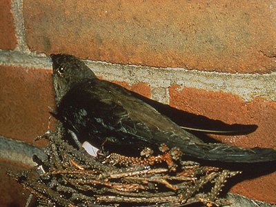 Chimney Swift on nest
