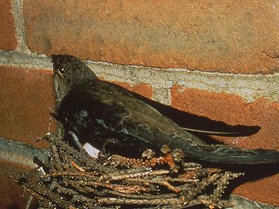 Chimney Swift on nest